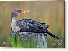 Acrylic Print featuring the photograph Cormorant On A Post by Kathy Baccari