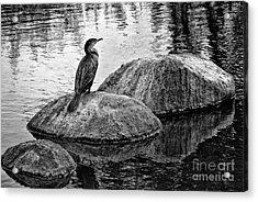 Cormorant On Rocks Acrylic Print