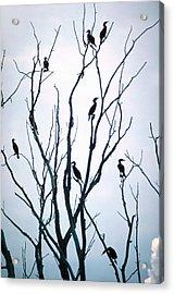 Cormorant Raiders Acrylic Print