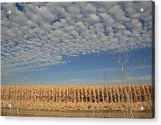 Corn Fields In West Acrylic Print
