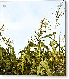 Corn In Summer Acrylic Print by Artist and Photographer Laura Wrede