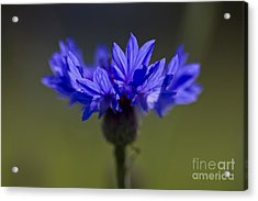 Acrylic Print featuring the photograph Cornflower Blue by Clare Bambers