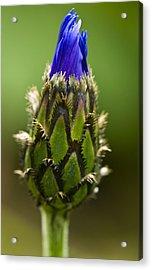Cornflower Bud Acrylic Print by Rob Hemphill