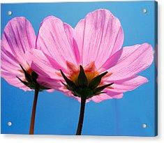 Cosmia Flowers Pair Acrylic Print by Sumit Mehndiratta