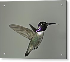 Acrylic Print featuring the photograph Costas Hummingbird by Gregory Scott