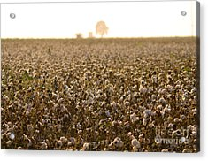 Cotton Field Donana Spain Acrylic Print by Perry Van Munster