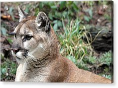 Cougar - 0006 Acrylic Print by S and S Photo