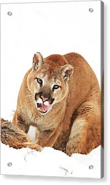 Cougar With Prey Acrylic Print by Richard Wear
