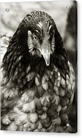 Country Chicken 5 Acrylic Print by Scott Hovind
