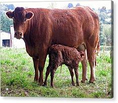 Cow And Newborn Calf Acrylic Print by Rod Jones
