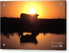 Cow At Sundown Acrylic Print by Picture Partners and Photo Researchers