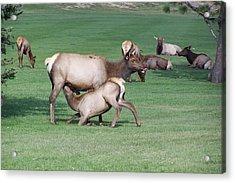 Cow Elk Feeding Calf Acrylic Print by Richard Adams