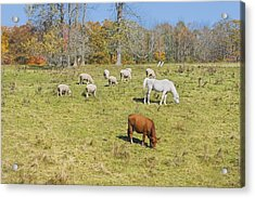 Cow Horse Sheep Grazing On Grass Farm Field Maine Photograph Acrylic Print by Keith Webber Jr