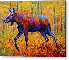 Cow Moose Acrylic Print by Marion Rose