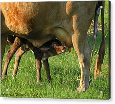 Cow With Newborn Calf Acrylic Print