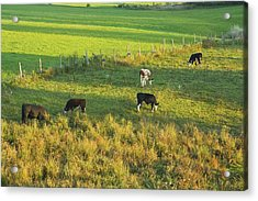 Cows Grazing In Late Day Light On Farm Maine Acrylic Print by Keith Webber Jr