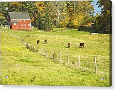 Cows Grazing On Grass In Farm Field Fall Maine Acrylic Print by Keith Webber Jr