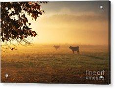 Cows In A Foggy Field Acrylic Print