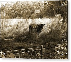 Cows In Pasture Acrylic Print by Pamela Stanford