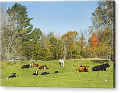 Cows Laying On Grass In Farm Field Autumn Maine Acrylic Print by Keith Webber Jr
