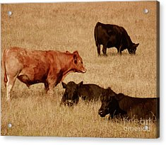 Cows Acrylic Print by Methune Hively