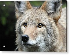 Coyote - 0031 Acrylic Print by S and S Photo