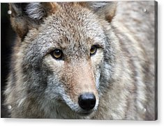 Coyote - 0034 Acrylic Print by S and S Photo
