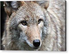 Coyote - 0034 Acrylic Print