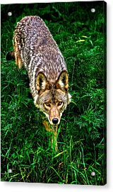 Coyote Acrylic Print by Andre Faubert