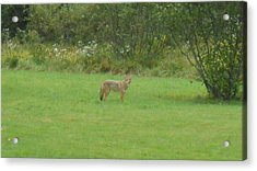 Coyote In The Yard  Acrylic Print by Jeffrey Benedict