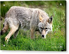 Acrylic Print featuring the photograph Coyote On The Prowl by Kathy  White
