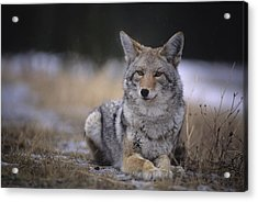Coyote Resting In Winter Grass, Snowing Acrylic Print by Leanna Rathkelly