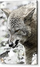 Coyote Snarling Acrylic Print by Dan Friend