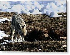 Coyote Yellowstone National Park Acrylic Print