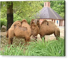 Cozy Camels - Cleveland Metro Zoo 1 Acrylic Print by S Taylor