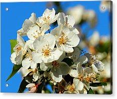 Crab Apple Blossom Macro 001 Acrylic Print by Lance Vaughn