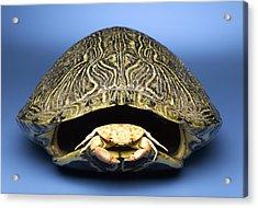 Crab Inside Of Empty Turtle Shell Acrylic Print by Jeffrey Hamilton