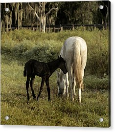 Cracker Foal And Mare Acrylic Print