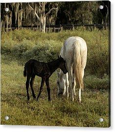 Cracker Foal And Mare Acrylic Print by Lynn Palmer