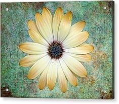 Cream Coloured Daisy Acrylic Print by Chris Thaxter