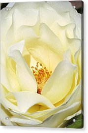 Cream Rose  Acrylic Print