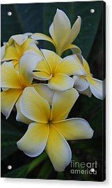 Creamy Yellow Flowers Acrylic Print