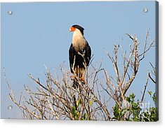Acrylic Print featuring the photograph Crested Cara Cara by Jennifer Zelik