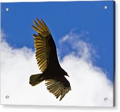 Crested Caracara Acrylic Print by Roger Wedegis