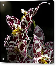 Cribet Exotic Orchids Acrylic Print
