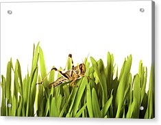 Cricket In Wheat Grass Acrylic Print by Pascal Preti