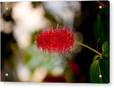 Acrylic Print featuring the photograph Crimson Bottle Brush by Tikvah's Hope