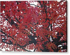 Crimson Leaves Acrylic Print