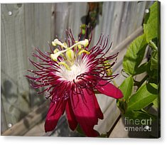 Crimson Passion Flower Acrylic Print by Jane Whyte