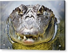Crocodile Eyes Acrylic Print